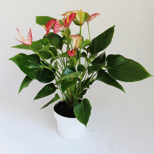 Anthurium Plant with red and white flowers