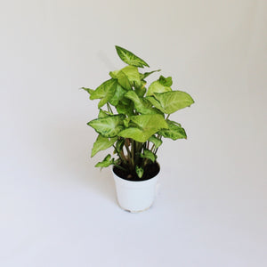 Arrowhead Plant with spring green leaves - Medium size