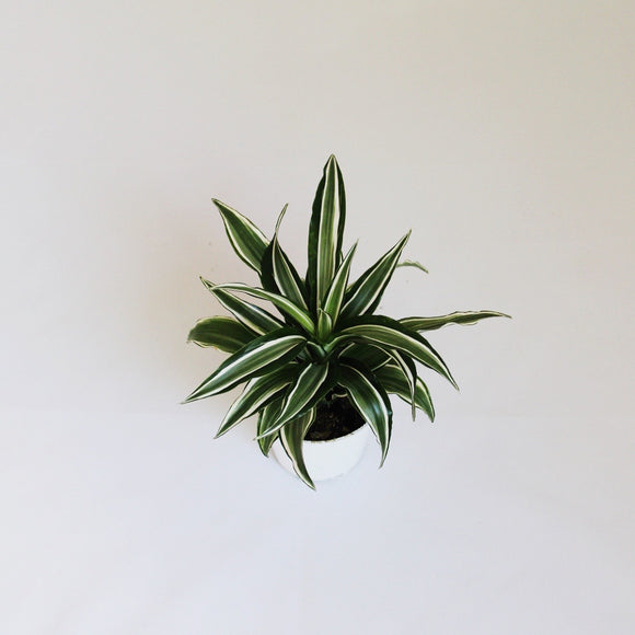 White Bird Dracaena Plant - Small houseplant