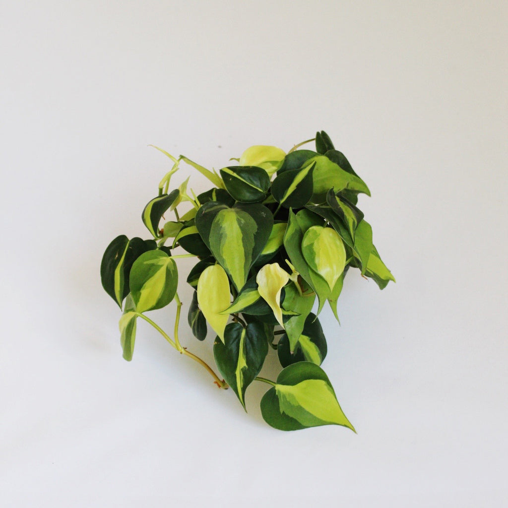 Pothos Plant - Medium houseplant with bright green varigated leaves