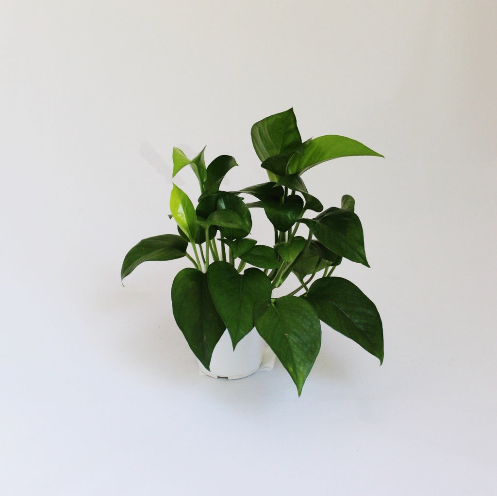 Pothos Plant - Small house plant