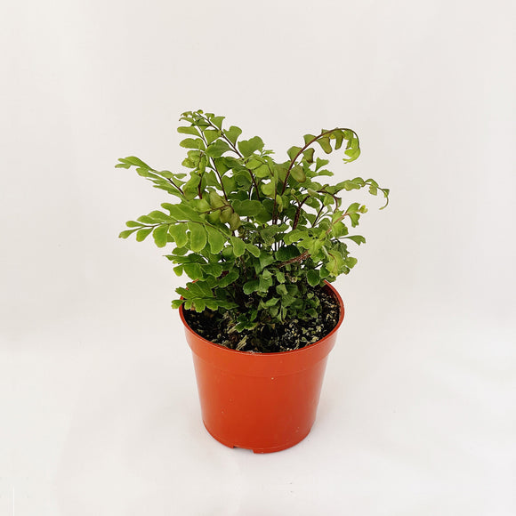 Small maidenhair fern in a plastic pot