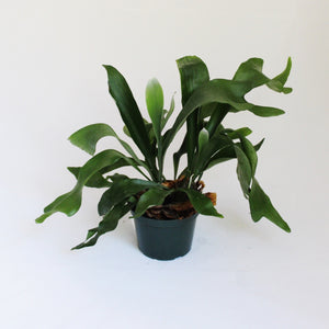 Staghorn Fern plant in green plastic pot
