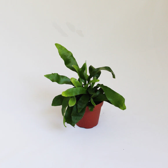 Staghorn Fern - small potted plant