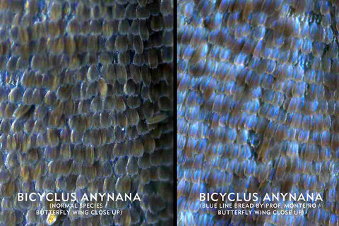 bicyclus anynana butterfly in its normal form and in its blue line bread