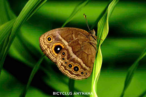 Bicyclus Anynana photographed in the Lab of Prof. Monteiro