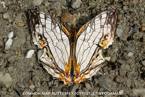 "I used to love the Common Map butterfly (Cyrestis thyodamas). This is a species of nymphalid butterfly found in the Indian Subcontinent and Southeast Asia. I found the patterns of the wings of this butterfly extremely ""modern"" like a beautiful abstract painting."