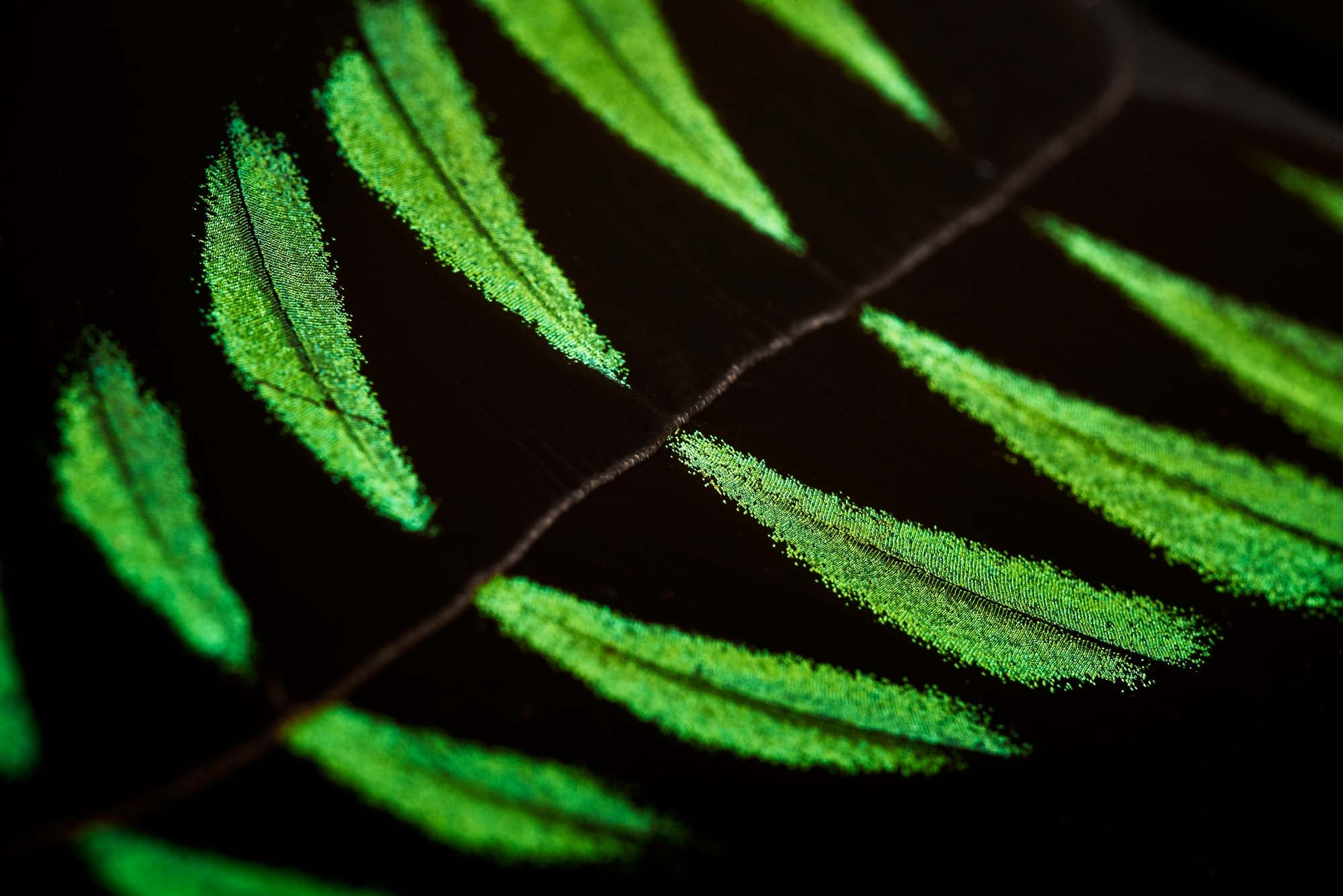 Close-up of RAJAH BROOKE real butterfly wing art in the colours black and green illustrating KHAMAMA's positive impact