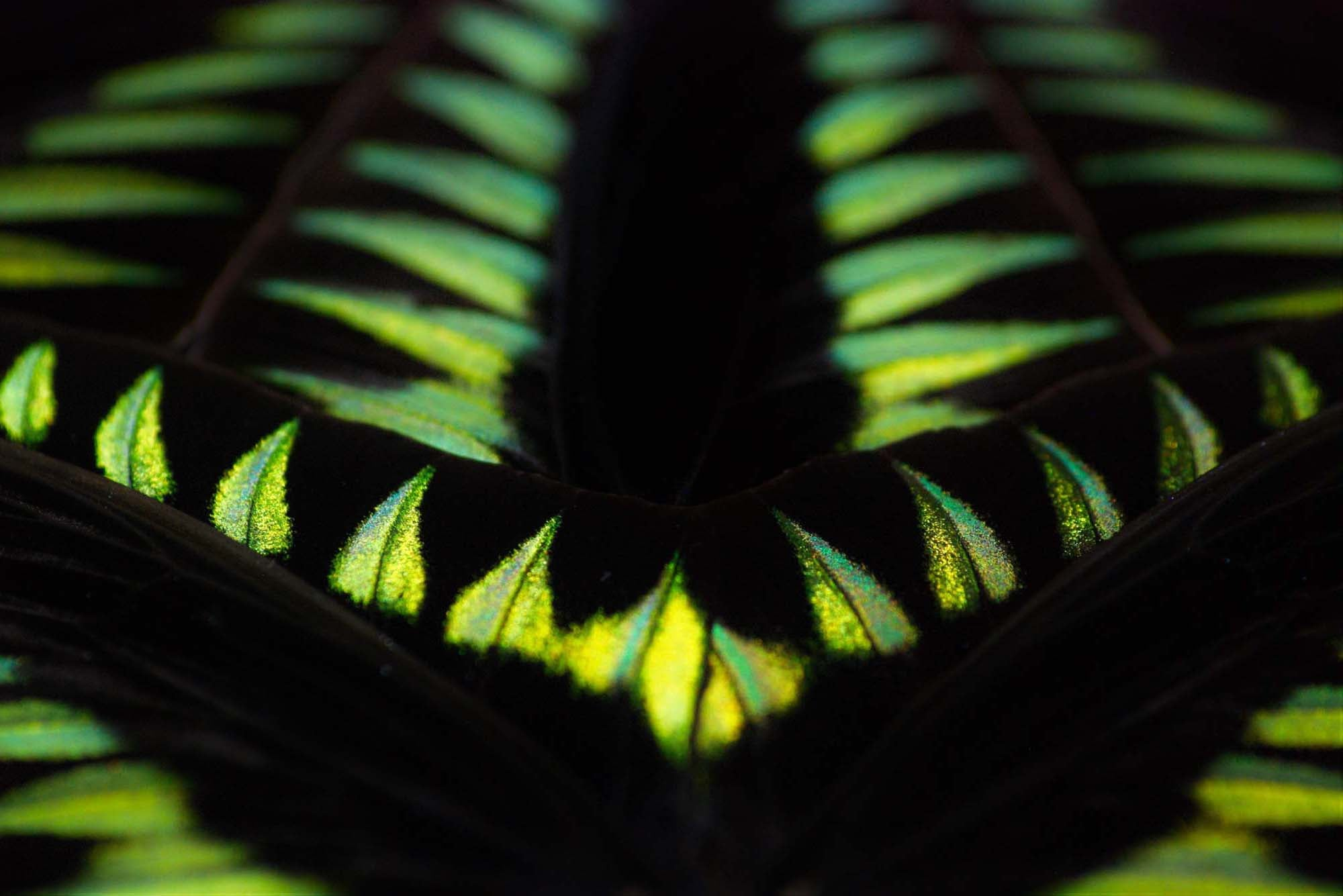 KHAMAMA butterfly wing art with green and black rajah brooke butterfly wings showing the most beautiful colours of nature