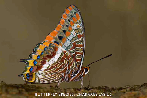 But my first love was an amazing Charaxes butterfly I encountered in the field in Portugal, Charaxes jasius. I felt like I had discovered an amazing natural jewel.