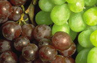 Your First Wine from Fresh Grapes: