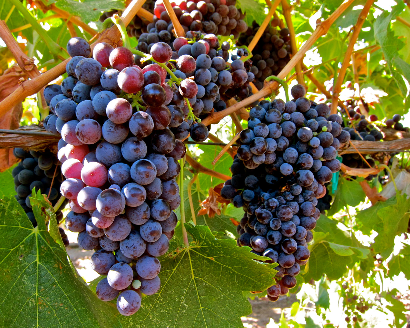 Image result for wine grapes