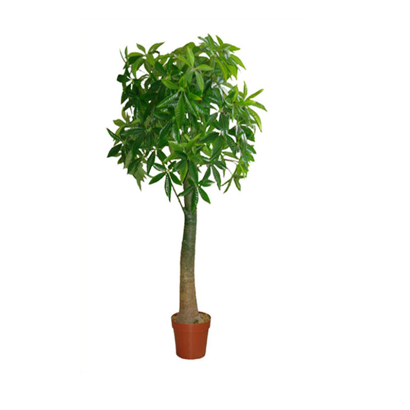 HF098D2 /Money Tree