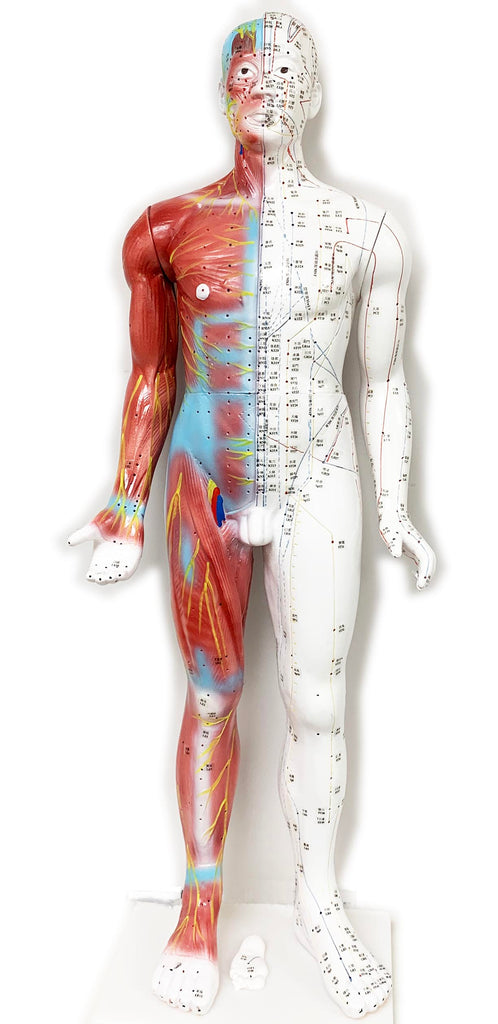 "Acupuncture Male Model 34"" (85cm)/ M-08 - Acubest"