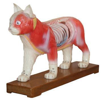 M-12 Acupuncture Model Of Cat