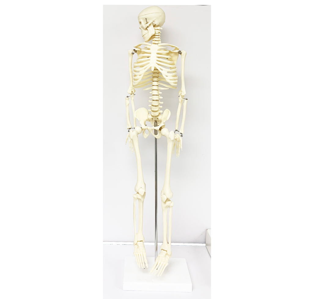 Skeleton Model 85cm/ M-15