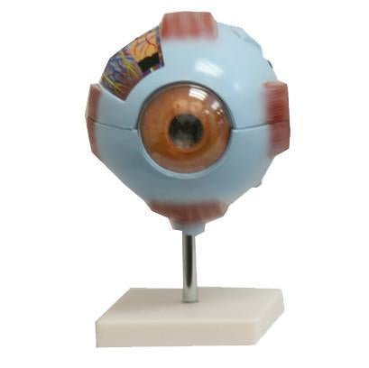 Giant Eye Anatomy Model / M-22