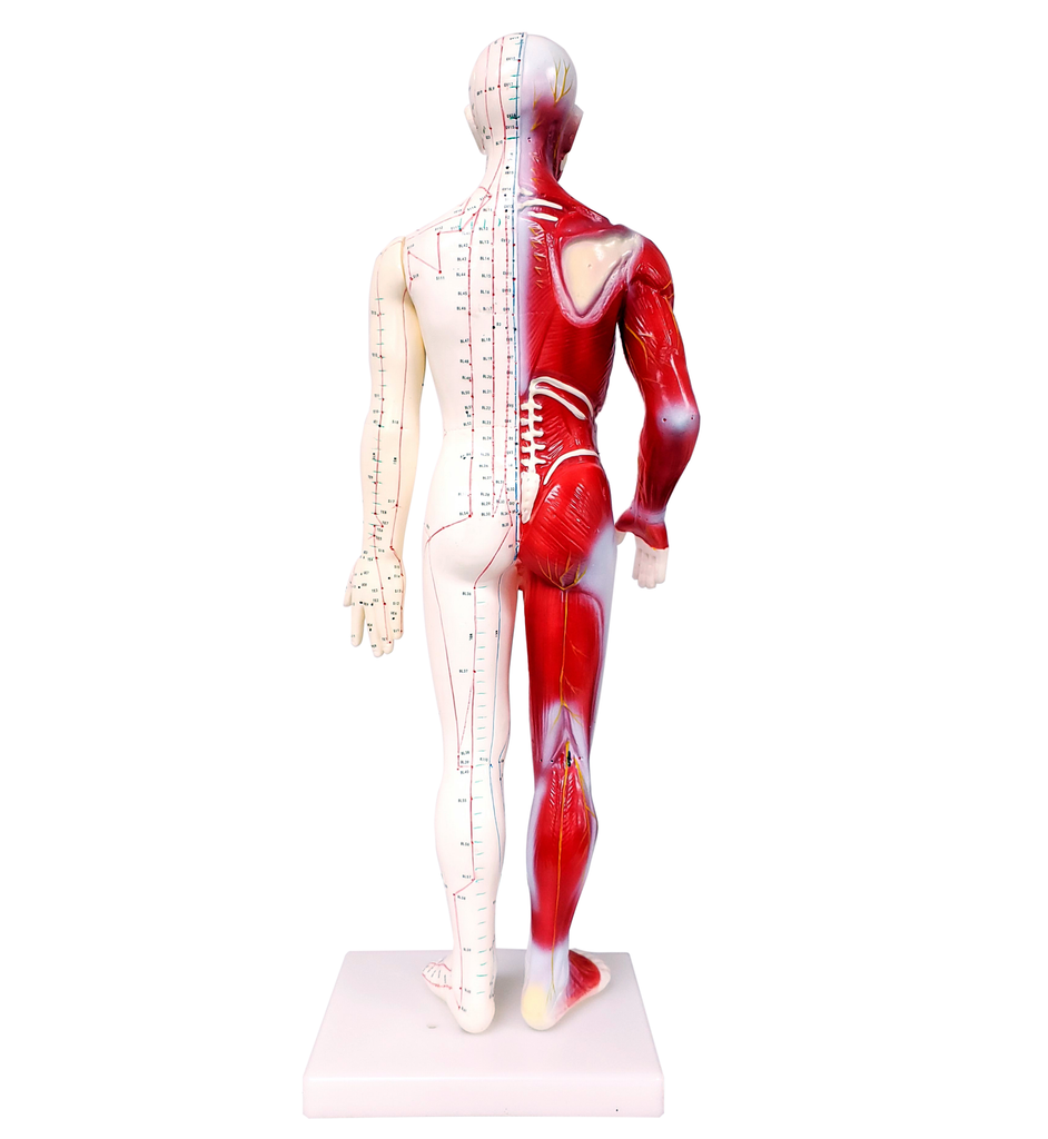 "Acupuncture Model Of Human Body 24"" /M-08C - Acubest"