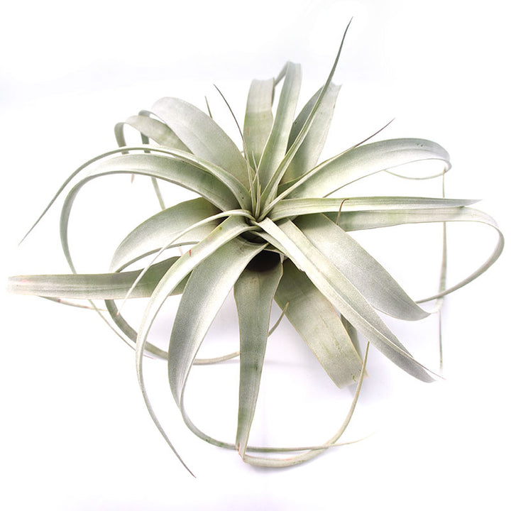 Air Plant - Medium Xerographica