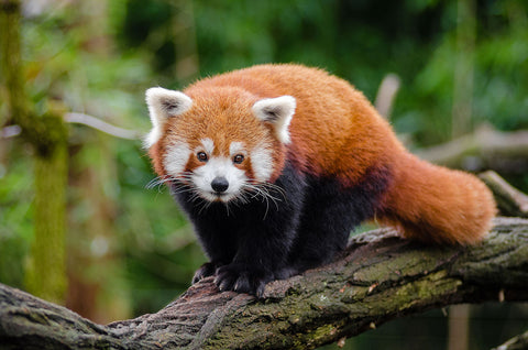 Wild red panda on the tree