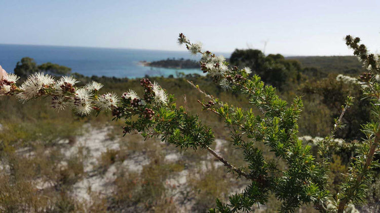 articles/kunzea-flinders-island.jpg