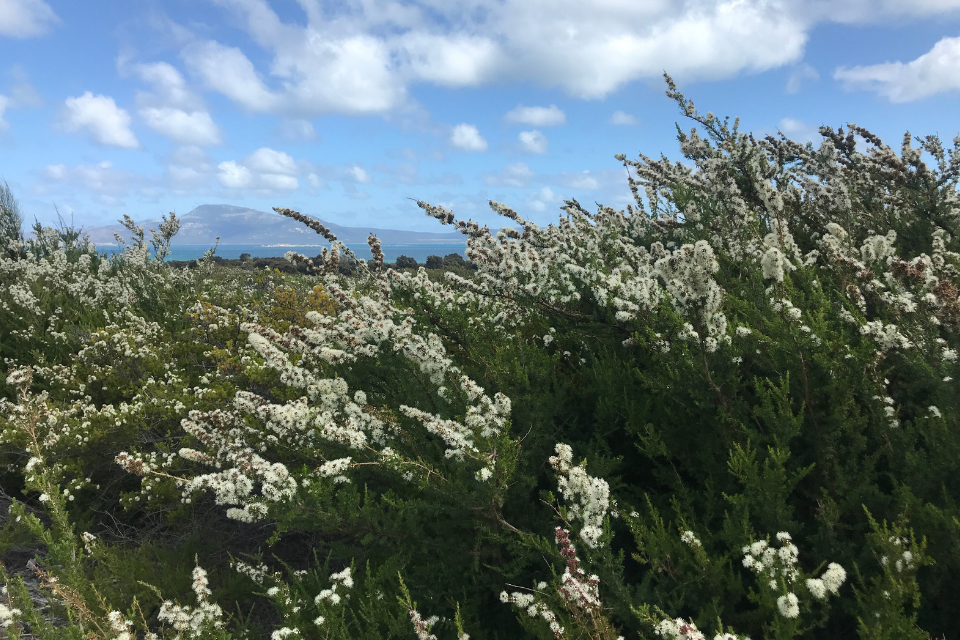 Kunzea ambigua essential oil on Flinders Island Tasmana
