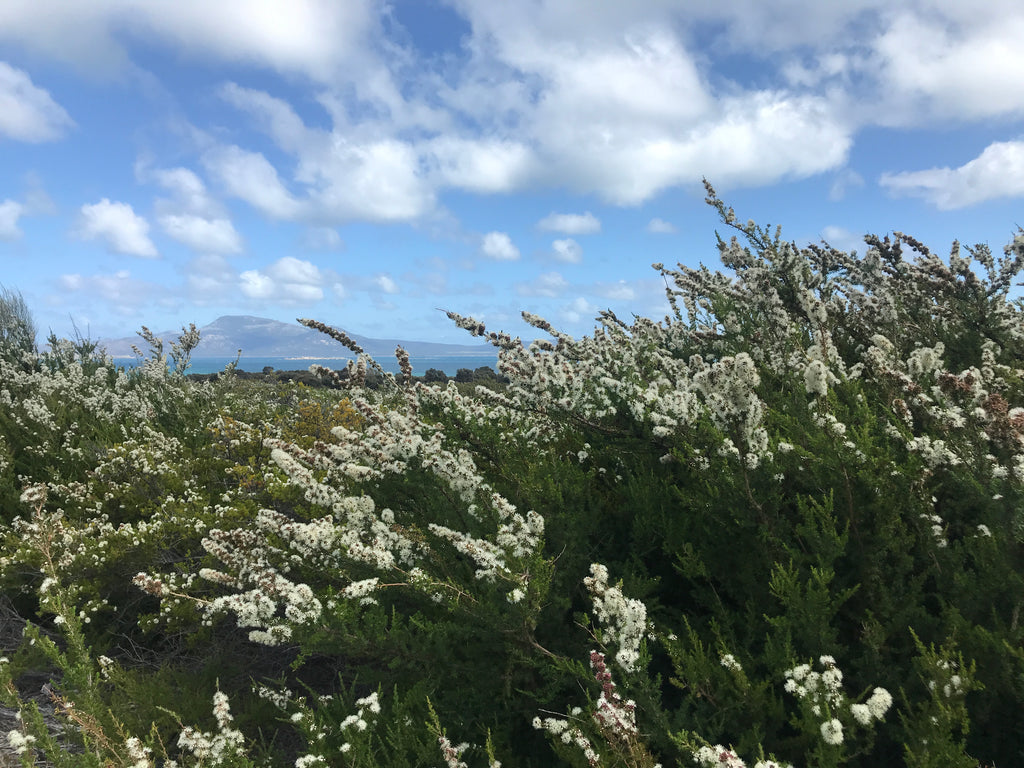 Kunzea ambigua growing wild on Flinders Island, Tasmania