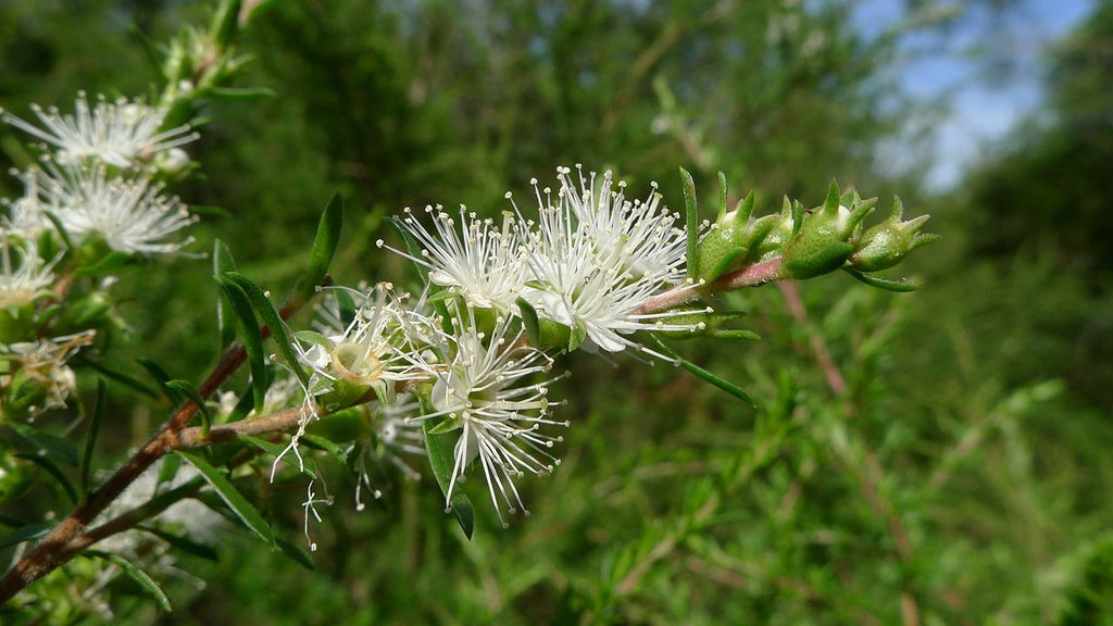 Wild Harvested Kunzea ambigua essential oil