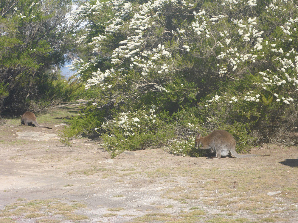 Wallaby seeking protection from Ticks under the Kunzea ambigua plants