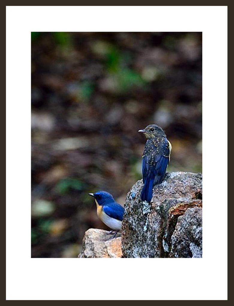 A pair of Tickell's Blue Flycatchers