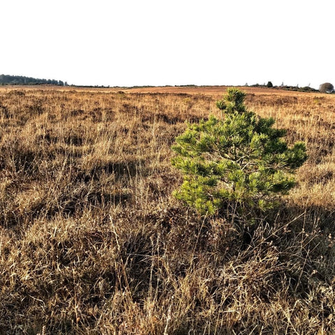 New Forest Heathland