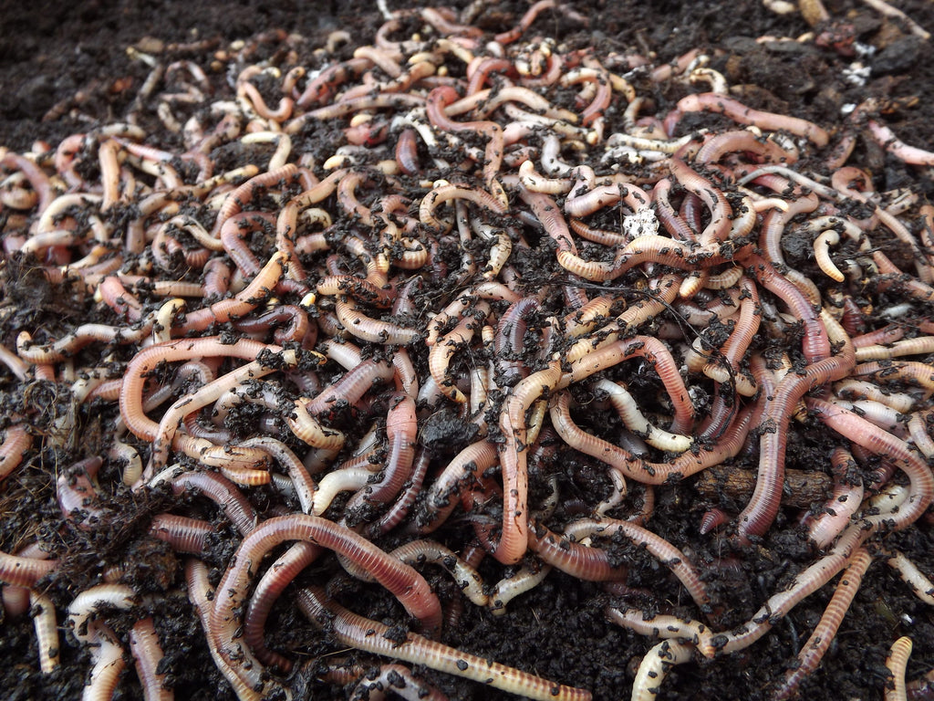 Worms 2kg