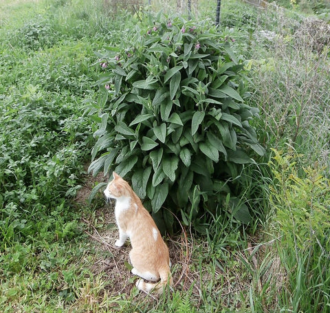 comfrey and cat - kerstin's nature products