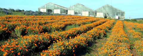 Calendula Field - Kerstin's Nature Products