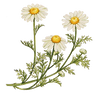 chamomile - kerstins nature products