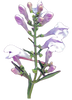 skullcap - kerstins nature products