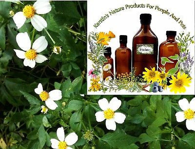 Bidens Pilosa Herbal Tincture Extract ~Multiple Sizes - Kerstin's Nature Products