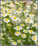 Chamomile Glycerite Non Alcohol - Kerstin's Nature Products