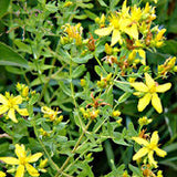 St. John's Wort Herbal Oil - Kerstin's Nature Products