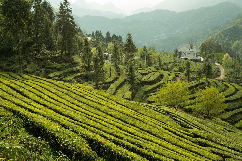 darjeeling tea geographical indications of india