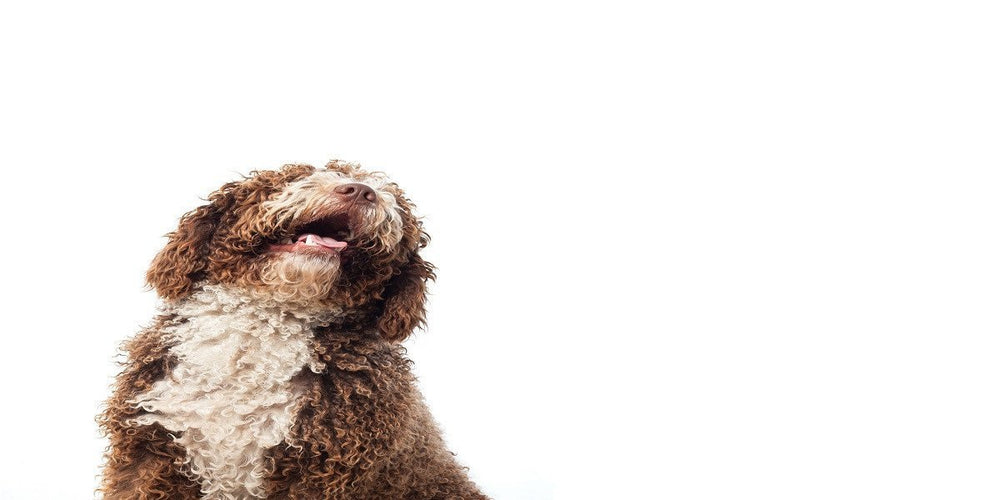 Your Neighbor's Nightmare! 10 Breeds That Bark the Most