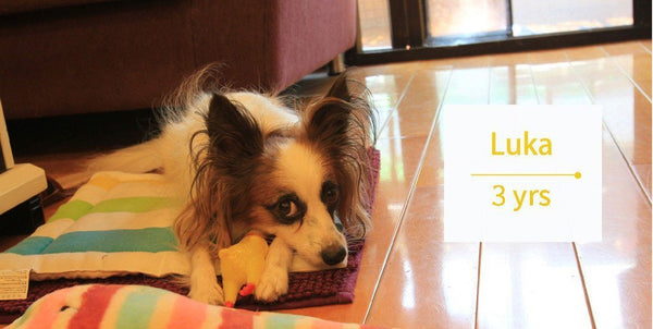 Furbo Reviews: Helps reducing separation anxiety - Papillon Luka