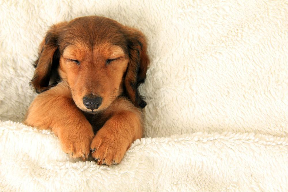 What Puppy Sleeping Positions Mean Common Sleeping Positions