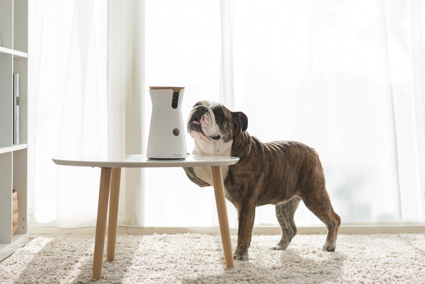 furbo-dog-camera-with-english-bulldog