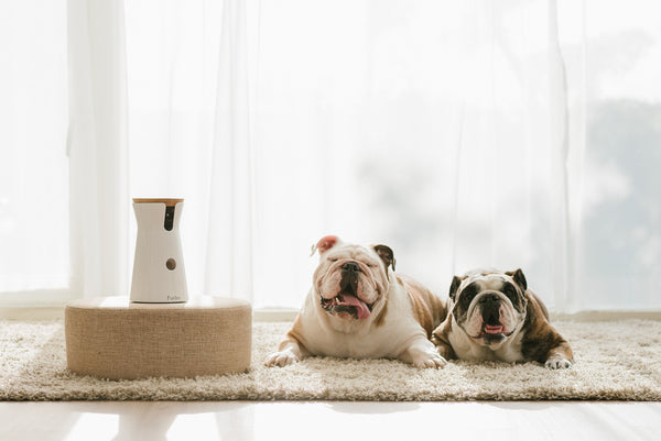 furbo-bulldogs smiling