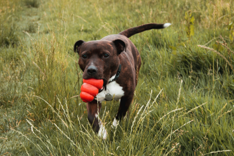 Brown and white staffordshire bull terrier holding a red Kong dog toy in its mouth while walking on the grass
