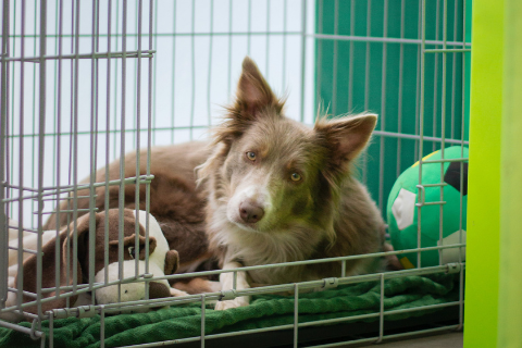 Dog lying in a crate with a green blanket, a stuffy toy, and a toy soccer ball