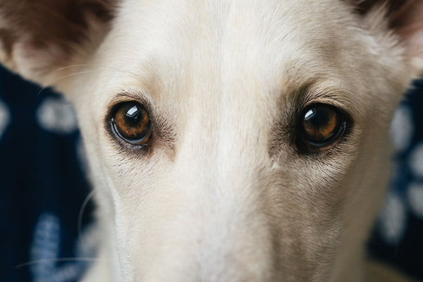 close up of white dog eyes