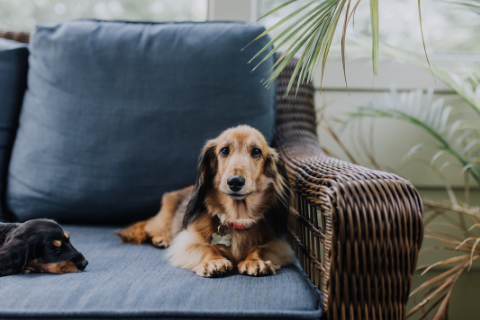Two dachshund dogs staying on a blue couch