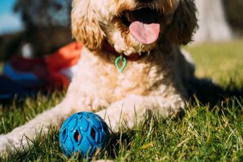 Brown poodle playing with a blue interactive dog toy ball on the grass
